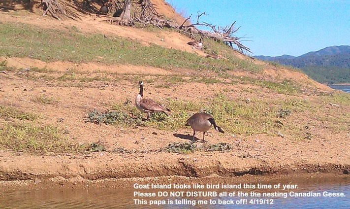 7 Goat Island geese